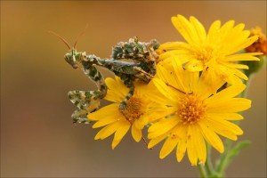 praymantis and yellow flower